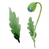 Kék mák bud elszigetelt fehér levelekkel. Akvarell illusztráció.