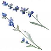 Fotografie Fialové levandule květinové botanické květin. Divoký jarní listové wildflower izolován. Sada akvarel pozadí obrázku. Akvarel výkresu módní aquarell. Prvek ilustrace izolované levandule