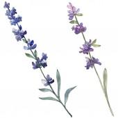 Fialové levandule květinové botanické květin. Divoký jarní listové wildflower izolován. Sada akvarel pozadí obrázku. Akvarel výkresu módní aquarell. Prvek ilustrace izolované levandule