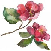 Vörös és lila camellia virág elszigetelt fehér. Akvarell háttérelemek illusztráció.