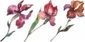 Fényképek Vörös és lila íriszek. Virágos botanikai virág. Vad tavaszi levél vadvirág elszigetelt. Akvarell háttér illusztráció készlet. Akvarell rajz divat aquarelle. Elszigetelt iris ábra elem