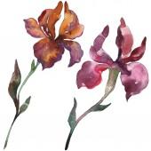 Fotografie Červené a fialové kosatce. Květinové botanické květin. Divoký jarní listové wildflower izolován. Sada akvarel pozadí obrázku. Akvarel výkresu módní aquarelle. Prvek ilustrace izolované iris