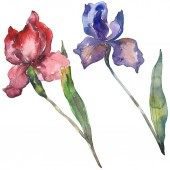 Fotografie Red and purple irises. Floral botanical flower. Wild spring leaf wildflower isolated. Watercolor background illustration set. Watercolour drawing fashion aquarelle. Isolated iris illustration element.
