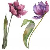 Lila tulipán virág botanikai virág. Vad tavaszi levél vadvirág elszigetelt. Akvarell háttér illusztráció készlet. Akvarell rajz divat aquarelle. Elszigetelt tulip ábra elem.