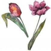 Fényképek Lila tulipán virág botanikai virág. Vad tavaszi levél vadvirág elszigetelt. Akvarell háttér illusztráció készlet. Akvarell rajz divat aquarelle. Elszigetelt tulip ábra elem.