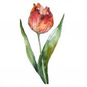 Piros tulipán elszigetelt ábra elemet. Akvarell háttér illusztráció.