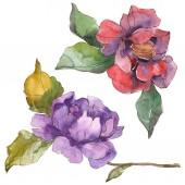 Fotografie Květy červené a fialové camellia izolované na bílém. Prvky ilustrace akvarel pozadí