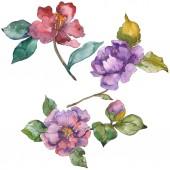 Květy červené a fialové camellia izolované na bílém. Prvky ilustrace akvarel pozadí.