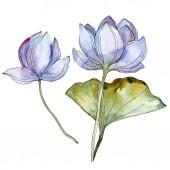 Blue and purple lotuses. Watercolor background illustration set. Isolated lotuses illustration elements.