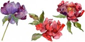Red and purple peonies. Watercolor background set. Isolated peonies illustration elements.