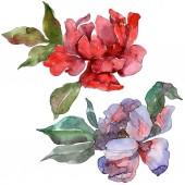 Vörös és lila a pünkösdi rózsa. Akvarell háttér beállítása. Elszigetelt pünkösdi rózsa ábra elemei