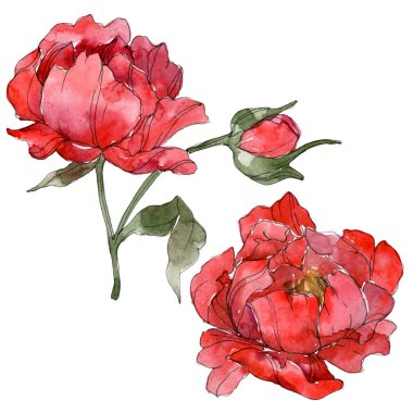 Red peonies isolated on white. Watercolor background illustration set. stock vector