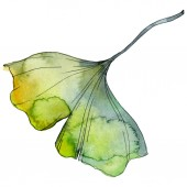 Fotografie Ginkgo biloba leaf. Leaf plant botanical garden floral foliage. Watercolor background illustration set. Watercolour drawing fashion aquarelle isolated. Isolated ginkgo illustration element.