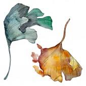 Fotografie Ginko biloba list. Listy rostlin Botanická zahrada květinové listy. Sada akvarel pozadí obrázku. Akvarel, samostatný výkresu módní aquarelle. Prvek ilustrace izolované Gingo