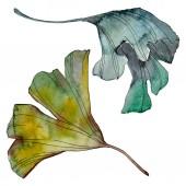 Fotografie Ginkgo biloba leaf. Leaf plant botanical garden floral foliage. Watercolor background illustration set. Watercolour drawing fashion aquarelle isolated. Isolated ginkgo illustration element.