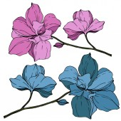 Fotografie Vektor modré a fialové orchideje izolované na bílém. Ryté inkoust umění