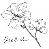 Fotografie Vektor monochromatický orchideje s orchidejí nápis izolované na bílém. Ryté inkoust umění