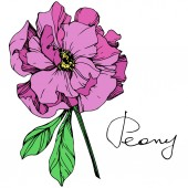 Fotografie Vector isolated purple peony flower with green leaves and handwritten lettering on white background. Engraved ink art.