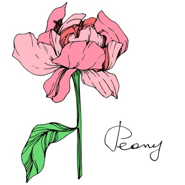 Vector isolated pink peony flower with green leaves and handwritten lettering on white background. Engraved ink art.