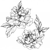 Vektor elszigetelt fekete-fehér bazsarózsa virágok vázlat a fehér háttér előtt. Vésett tinta art.