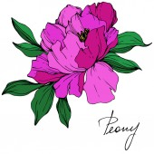 Vector isolated purple peony flower with green leaves and handwritten lettering on white background. Engraved ink art.