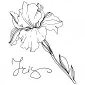 Fotografie Vektorové ilustrace černobílé izolované iris květiny na bílém pozadí