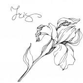 Fotografie Vector monochrome isolated iris flower illustration on white background