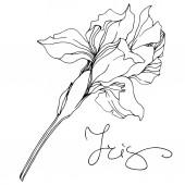 Fotografie Monochrome isoliert Iris Blume Vektorgrafik auf weißem Hintergrund