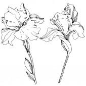Fotografie Vektorové ilustrace černobílé izolované kosatce na bílém pozadí