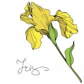 Illustrazione di vettore delliride gialla isolato su priorità bassa bianca