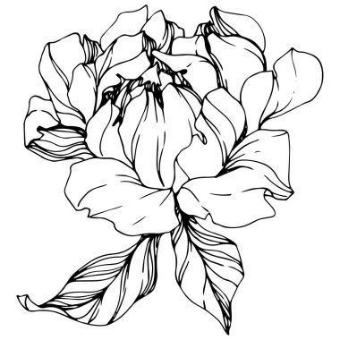 Vector isolated monochrome peony flower sketch on white background. Engraved ink art. clip art vector