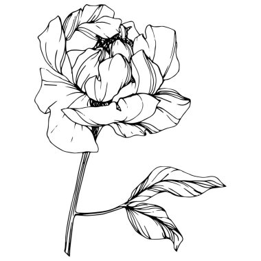Vector isolated monochrome peony flower sketch on white background. Engraved ink art. stock vector