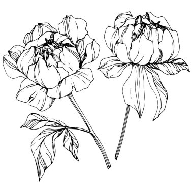 Vector isolated monochrome peony flowers sketch on white background. Engraved ink art. stock vector
