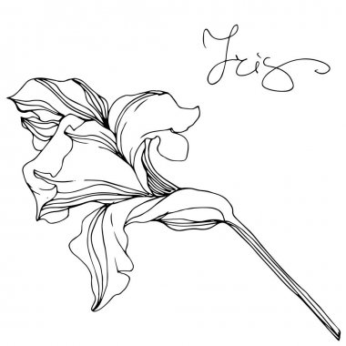 Vector monochrome isolated iris flower illustration on white background stock vector