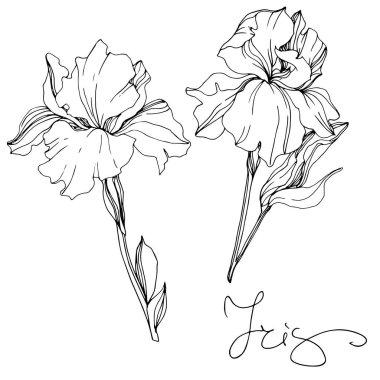 Vector monochrome isolated irises illustration on white background stock vector