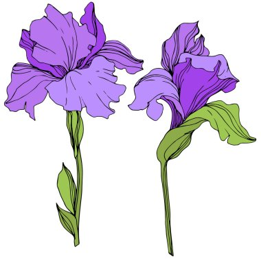 Vector purple isolated irises illustration on white background clip art vector