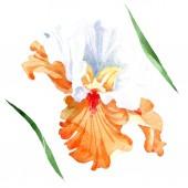 Narancssárga fehér virágos botanikai Irisz. Vad tavaszi levél vadvirág elszigetelt. Akvarell háttér illusztráció készlet. Akvarell rajz divat aquarelle. Elszigetelt iris ábra elem.
