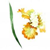 Oranžové bílého irisu květinové botanické květin. Divoký jarní listové wildflower izolován. Sada akvarel pozadí obrázku. Akvarel výkresu módní aquarelle. Prvek ilustrace izolované iris.