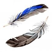 Aquarell blaue und schwarze Vogelfeder vom Flügel isoliert. Aquarellfeder für den Hintergrund. Aquarellzeichnung Mode. isolierte Federn Illustrationselement.