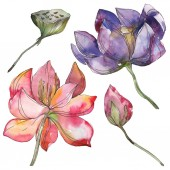 Růžové a fialové lotus foral botanické květin. Divoký jarní listové wildflower izolován. Sada akvarel pozadí obrázku. Akvarel výkresu módní aquarelle. Izolované aplikace lotus ilustrace prvek.