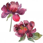Photo Burgundy peonies. Watercolor background set. Isolated peonies illustration elements.