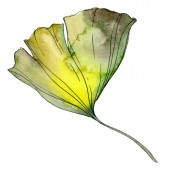 Yellow and green ginkgo biloba isolated leaf. Watercolor background illustration.