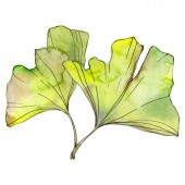 Zelené a žluté ginkgo biloba listy izolované na bílém. Sada akvarel pozadí obrázku.