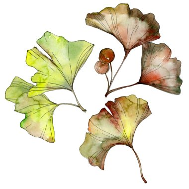 Green and yellow ginkgo biloba leaves isolated on white. Watercolor background illustration set. stock vector
