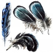 Photo Blue and black bird feathers from wing isolated. Watercolor background illustration set. Isolated feathers illustration elements.