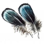 Modré a černé ptačího peří z křídla, samostatný. Sada akvarel pozadí obrázku. Prvky ilustrace izolované peří.
