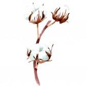 Pamut botanikai virág. Akvarell háttér illusztráció. Elszigetelt pamut ábra elem.