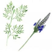 Kék ibolya levendula virág botanikai virág. Vad tavaszi levél vadvirág elszigetelt. Akvarell háttér beállítása. Akvarell rajz divat aquarelle. Elszigetelt lavandula ábra elem
