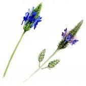 Modrá fialová levandule květinové botanické květin. Divoký jarní listové wildflower izolován. Sada akvarel zázemí. Akvarel výkresu módní aquarelle. Izolované lavandula ilustrace prvek