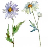 Fotografie daisies with green leaves watercolor illustration isolated on white